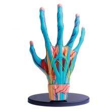 Anatomia Malli - Käden lihakset ja tunto