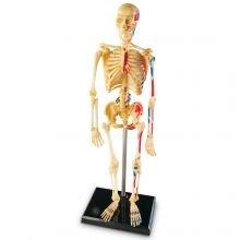 Anatomiamalli - Luuranko