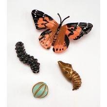 Elinkaari: Munasta hyönteiseksi: Perhonen